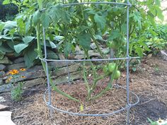 How to prune tomatoes: Pruning tomato plants, lower portion