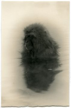 masao yamamoto - Snow monkey in hot spring (canvas and charcoal? Yamamoto, Primates, Non Plus Ultra, Year Of The Monkey, Illustration Art, Illustrations, Foto Art, Art Graphique, Victoria And Albert Museum