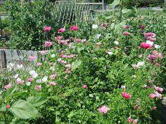 Ladner Community Garden: Ladner's Best Community Garden