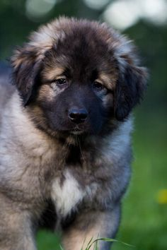 """Caucasian Ovcharka The Caucasus Mountains (where this """"Russian Bear Hunting Dog"""" originates from) and need protection from bears and wolves, this dog probably won't fit your lifestyle Cute Cats And Dogs, Cute Dogs And Puppies, I Love Dogs, Doggies, Caucasian Shepherd Puppy, Wild Dogs, Boxer Dogs, Best Dogs, Dog Breeds"""