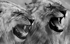 Beautiful Black and White Portraits of African Wildlife by David Gulden - My Modern Met Black And White Portraits, Black And White Pictures, Street Art, Nature Sauvage, Like A Lion, African Animals, Forest Animals, Afrikaans, Beautiful Moments