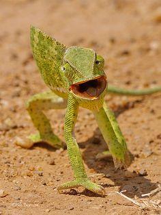 Chameleon by nik.borrow