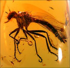 A Robber Fly (Asilidae) in Dominican Amber.