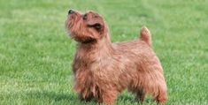 30 Small Hypoallergenic Dogs That Don't Shed 30 Small Hypoallerge. - 30 Small Hypoallergenic Dogs That Don't Shed 30 Small Hypoallergenic Dogs That Don - Norfolk Terrier, Boston Terrier, Dog Breeds That Dont Shed, Small Dog Breeds, Best Small Family Dogs, Terrier Dog Breeds, Terriers, Terrier Mix, White Terrier