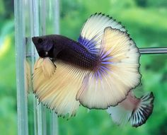 Pez beta mariposa!!!