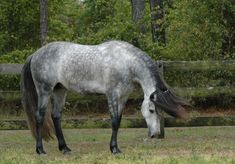 Andalusians