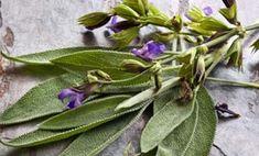 Salvia Divinorum, Salvia Officinalis, Mosquitos, Succulents, Outre, Dengue Zika, Thuja, Questions, Body Care