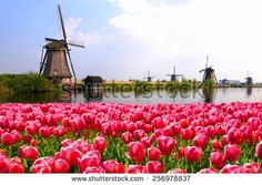 Vibrant pink tulips with Dutch windmills along a canal, Netherlands - stock photo