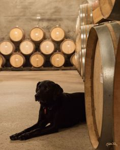 Winery dog Zeus hanging out in the Wine Cave at Gibbston Valley Winery.