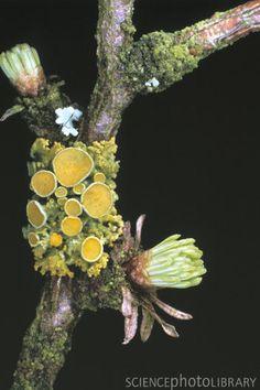 http://www.sciencephoto.com/image/16565/530wm/B3500139-Lichens_on_tree-SPL.jpg
