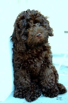 chocolate cockapoo. My puppy Finnegan....love him so much!!!
