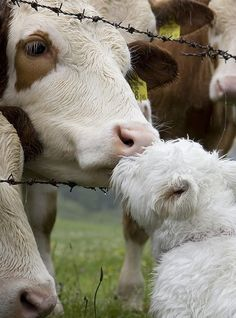 Westie kissing a cow! Too bad my westie would be CHASING a cow! Beautiful Creatures, Animals Beautiful, Farm Animals, Cute Animals, Animals Kissing, West Highland White Terrier, Vida Animal, All Gods Creatures, Westies