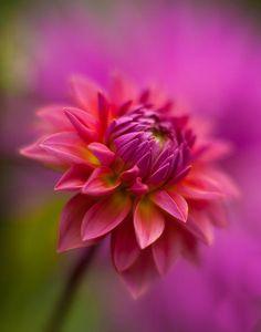 ~~Dahlia Burst by Mike Reid~~