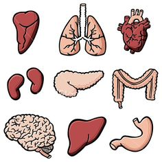 Illustrations of human internal organs. Preschool Education, Preschool Science, Science For Kids, Science Biology, Science Lessons, Science Projects, Human Digestive System, Human Body Systems, Body Parts Theme