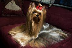 Candy, a Yorkie, at Westminster.  I wonder how long it took to groom the cutie.