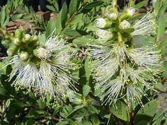 Callistemon citrinus ' White Anzac' .. Attractive dense shrub to 1.5 m - oval green leaves - White bottlebrushes in spring and autumn ...Mole Station Native Nursery