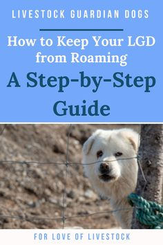 Livestock guardian dogs (LGDs) are born to roam.  You may have built a fence that's good enough to keep your goats in (and that's saying something!), but somehow your dog keeps busting out. Whether you have a Great Pyrenees, Akbash, Maremma, or some other LGD breed, this post provides multiple step-by-step solutions for keeping roaming dogs on your homestead. #livestockguardiandog #lgd #homesteading #greatpyrenees #akbash #maremma #dogtraining #dogfence Farm Dogs, Save A Dog, Tibetan Mastiff, Anatolian Shepherd, Pet Dogs, Pets, Dog Fence, Great Pyrenees, Dog Care Tips
