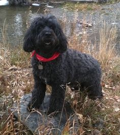 Front side view - A black Portuguese Water Dog is wearing a red bandanna standing up on a brown tree stump that is surrounded by brown grass and behind it is a body of water. It is looking up and forward. The dog has longer hair on its shaved wavy coat. Best Puppies, Best Dogs, Dogs And Puppies, Friendly Dog Breeds, Rare Dogs, Portuguese Water Dog, Dog Information, Training Your Puppy, Dog Crate