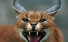 """screaming"" caracal"