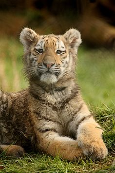 I love tigers they r so cute
