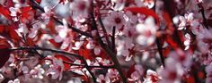 Spring trees in bloom in Michigan. Photography posts of beautiful spring tree blossoms across Metro Detroit.