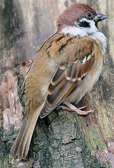Eurasian Tree Sparrow not 2 Small Birds, Little Birds, Colorful Birds, Types Of Sparrows, Kinds Of Birds, Sparrow Bird, Funny Birds, Bird Cages, Backyard Birds