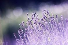 Healing Yourself: Stress-busting Power of Lavender Raised Bed Garden Design, Small Garden Design, Anxiety Remedies, Natural Remedies For Anxiety, Lavender Sleep Spray, Peppermint Tea, Best Essential Oils, Aromatherapy Oils, Medicinal Herbs