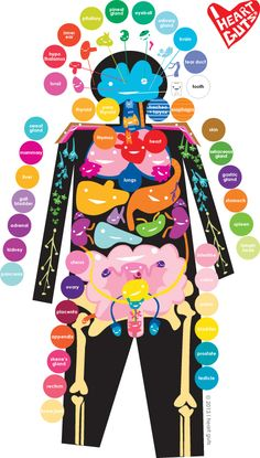 I Heart Guts  Great site to click on organs and get a good explanation of how it works.