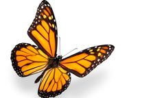 monarch butterfly pictures   monarch butterfly photo image size 1446x880px…