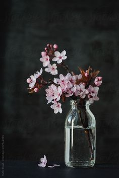 Plum blossom in a jar by Ruth Black - Blossom, Spring - Stocksy United Art Floral, Deco Floral, Flower Vases, Flower Art, Flower Arrangements, Flower Backgrounds, Flower Wallpaper, Cherry Blossom Painting, Cherry Blossoms