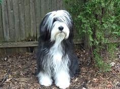 Duffy the bearded collie!