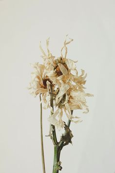 Dried Floral Daisies Still Life Photography by bellesandghosts, $8.00