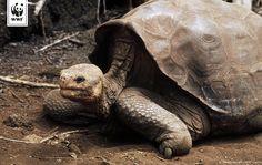 Wir trauern: Lonesome George - die letzte Galápagos-Riesenschildkröte - ist gestorben. Somit ist unser Planet um eine weitere Tierart ärmer. http://www.wwf.de/2012/juni/einsamer-george-gestorben/