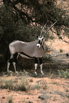 The gemsbok or gemsbuck (Oryx gazella) is a large antelope in the Oryx genus. It is native to the arid regions of Southern Africa, such as the Kalahari Desert.