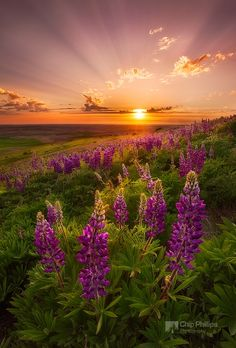 """""""Palouse Lupine Rays"""" by Chip Phillips on 500px - Spring wildflowers in the Palouse Region of Washington State"""