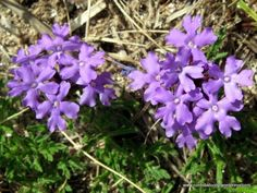 Flores silvestres de las sierras de Córdoba 10 Verbena