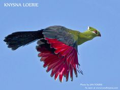 photos of birds in south africa in flight - Google Search