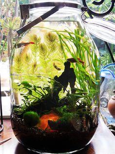Fish tank in a jar For a Betta Splendens