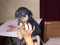 rottweiler puppies for sale in michigan