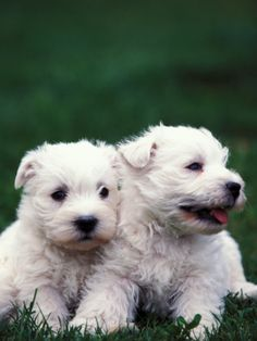 Two Westie Puppies Sitting Together