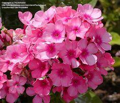 Picture of Garden Phlox 'Pink Flame' (Phlox paniculata)