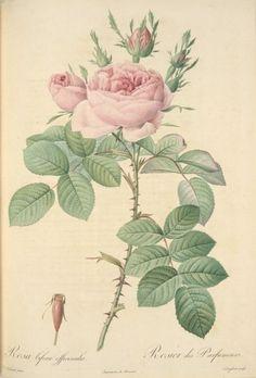 Gallery.ru / Фото #1 - Rosa bifera officinalis - rabbit17