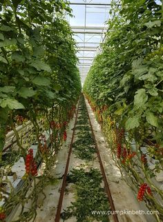 Rows of cherry tomatoes growing inside the glasshouses at Eric Wall Ltd in Barnham, Chichester, West Sussex. Growing Tomatoes, Growing Plants, Chichester, Shampoo Bar, Sustainable Living, Cherry Tomatoes, Wonderful Places, Sustainability, The Row