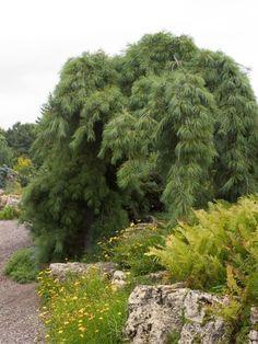 Simple haengebaeume garten kiefer steingarten landschaftsbau hochbeet blumen gelb