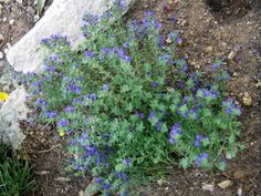 Shrubby Purple Skullcap