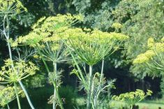 Anethum graveolens Dill. ... CONDIMENTS ....TEA ...from plants!
