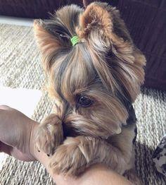 Biewer Yorkie, Yorkie Puppy, Yorkies, Cute Puppies, Cute Dogs, Dogs And Puppies, Cute Babies, Baby Snoopy, Pets 3