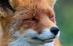 Fox by eedee #animals #pets #fadighanemmd