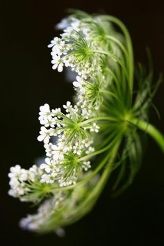 summer expresses itself with flowers  Queen Annes Lace