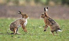 Brown hares like open country, grassland and farmland. Photograph: Andrew Parkinson/Corbis http://www.theguardian.com/environment/2008/jun/07/brown.hare